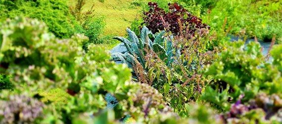 Nasturzi nasturzi rampicanti fiori commestibili for Piante rampicanti ornamentali