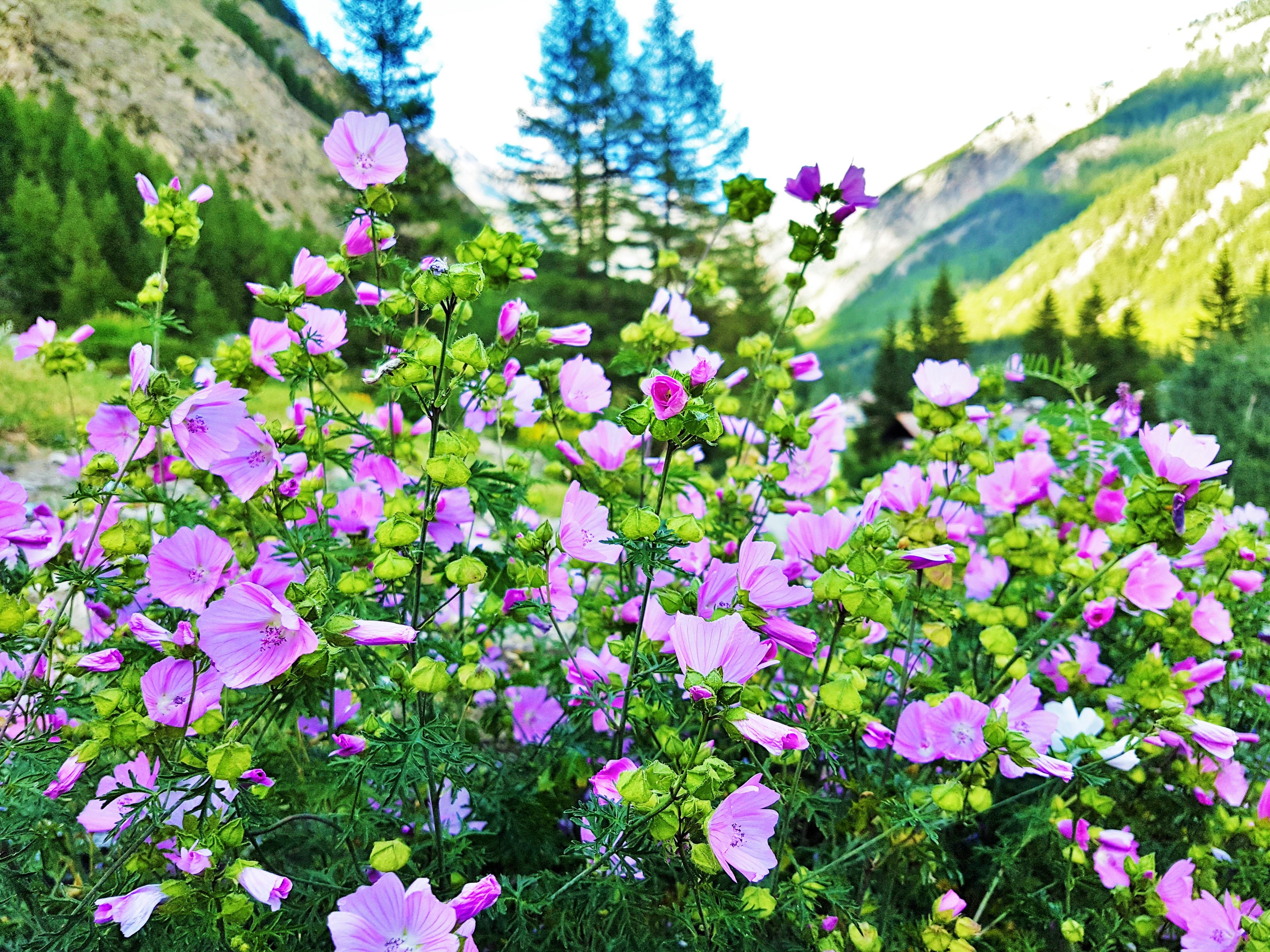 Fiori E Piante Commestibili malva moschata | malva alba | piante eduli ornamentali