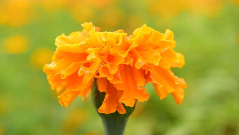 Simbologia dei fiori: il significato del garofano
