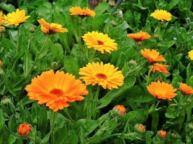 Calendula, significato dei fiori