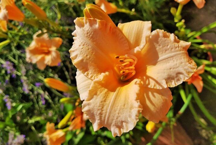 Significato dei fiori: il Giglio di San Giuseppe