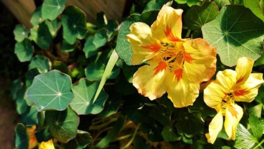 Significato dei fiori: il nasturzio