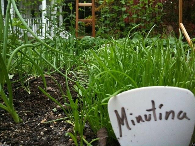erbe selvatiche commestibili Erba stella minutina plantago coronopus