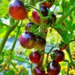 Pomodoro Ciliegia nera o ciliegino nero black cherry