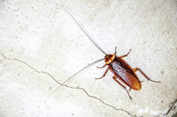Rimedi naturali contro gli scarafaggi e le blatte