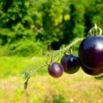 pomodoro blu viola