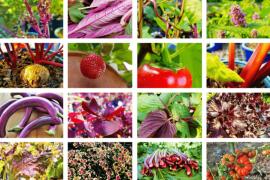 Inizio autunno viola e rosso nel giardino commestibile